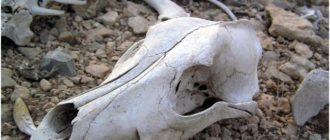 череп крупного рогатого скота