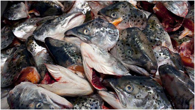 рыбьи головы